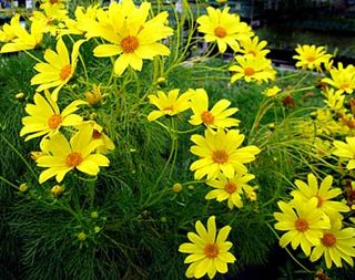 Coreopsis_gigantea_close