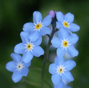 Forget-me-not-08