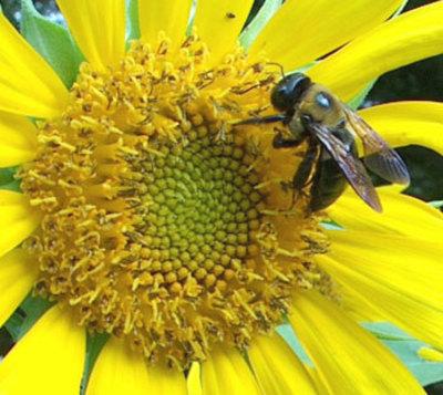 Beeonsunflower